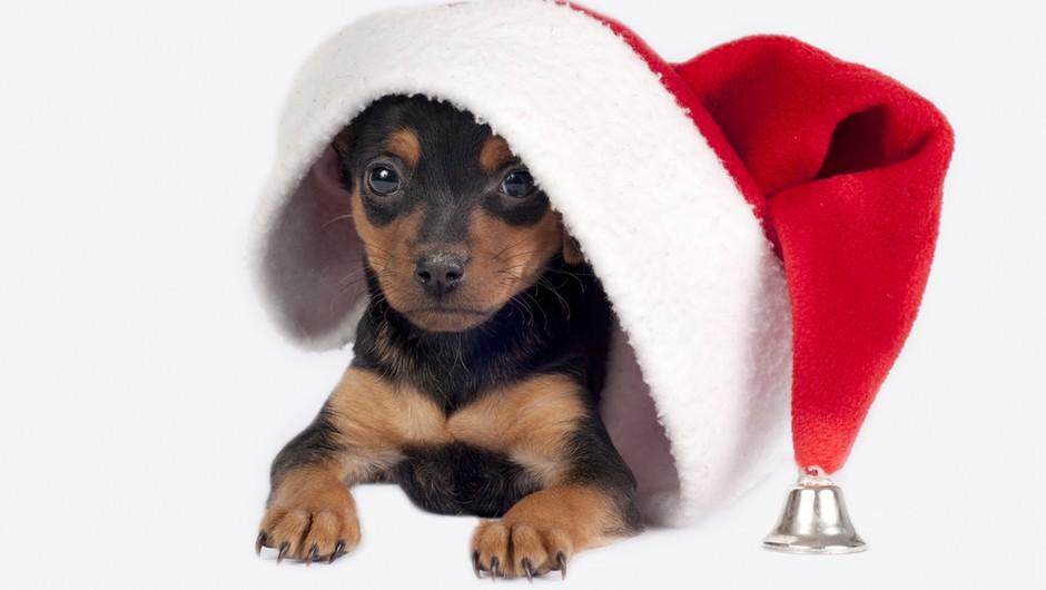Alenka Spazzapan o decembrskih stresih za živali (foto: shutterstock)