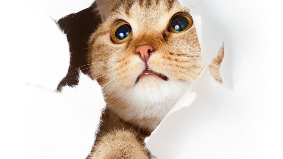 Ali imajo mačke čustva? (foto: shutterstock)