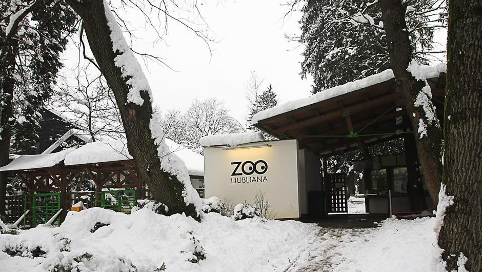 Fotograf na sledi življenju v zasneženem ljubljanskem živalskem vrtu (foto: Goran Antley)
