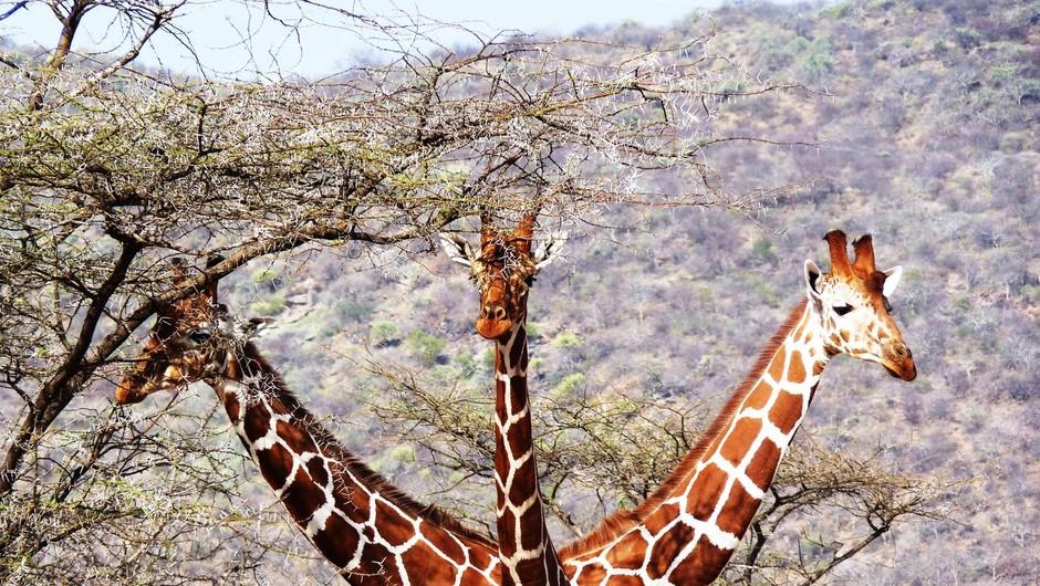 Kaj pomenijo vse te žirafe na facebooku? (foto: profimedia)