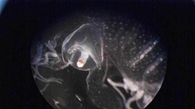 Petkova akademija za mlade pod drobnogled jemlje nesmrtnost meduz!