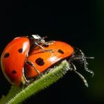Seks v svetu insektov - zelo nazorno, a ljubko ;) (foto: profimedia)