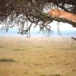 Tudi strah in trepet savanskih prostranstev se takole kdaj utrudi. S to neverjetno sliko speče levinje sredi Kenije se lahko pohvali 45-letni Mark Bridger. (foto: profimedia)