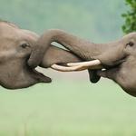 Ker se sloni ne morejo zaljubljeno držati za roke, pa se lahko takole ljubkujeta s svojimi rilci. 53-letni fotograf Jagdeep Rajput je imel veliko sreče, da je v svoj objektiv ujel dva za nežnosti zelo razpoložena indijska slona. (foto: profimedia)