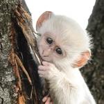 Izjemna redkost - albino opičji mladič. Prizor je posnel fotograf Christy Strever v Krugerjevem nacionalnem parku v južni Afriki.  (foto: profimedia)