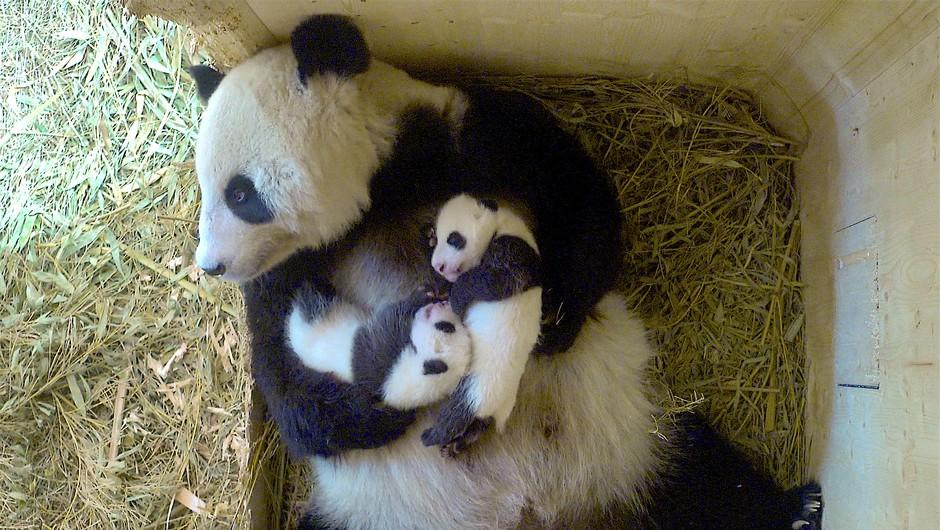 Mladičku pande v dunajskem ZOO-ju bodo ime izbrali s spletnim glasovanjem (foto: © ZOO Schönbrunn)