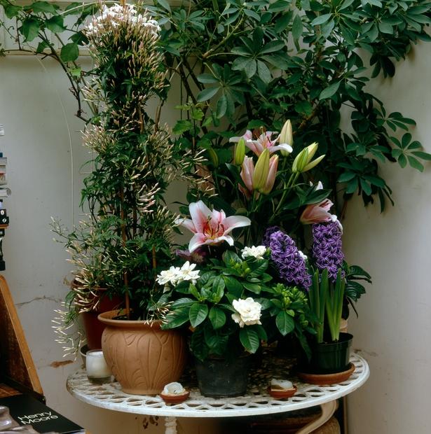 Gardenija Sladek vonj gardenije ima enak učinek, kakor uspavalne tablete, saj sprošča in pomirja, da človek na naraven način tone …